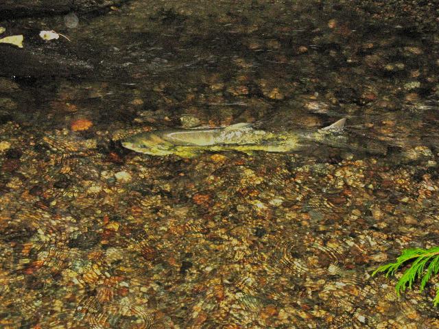 Stoney Creek Environmental Committee Keep Salmon Healthy in Burnaby